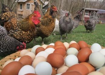 Chooks ignored in argument over free range egg labelling