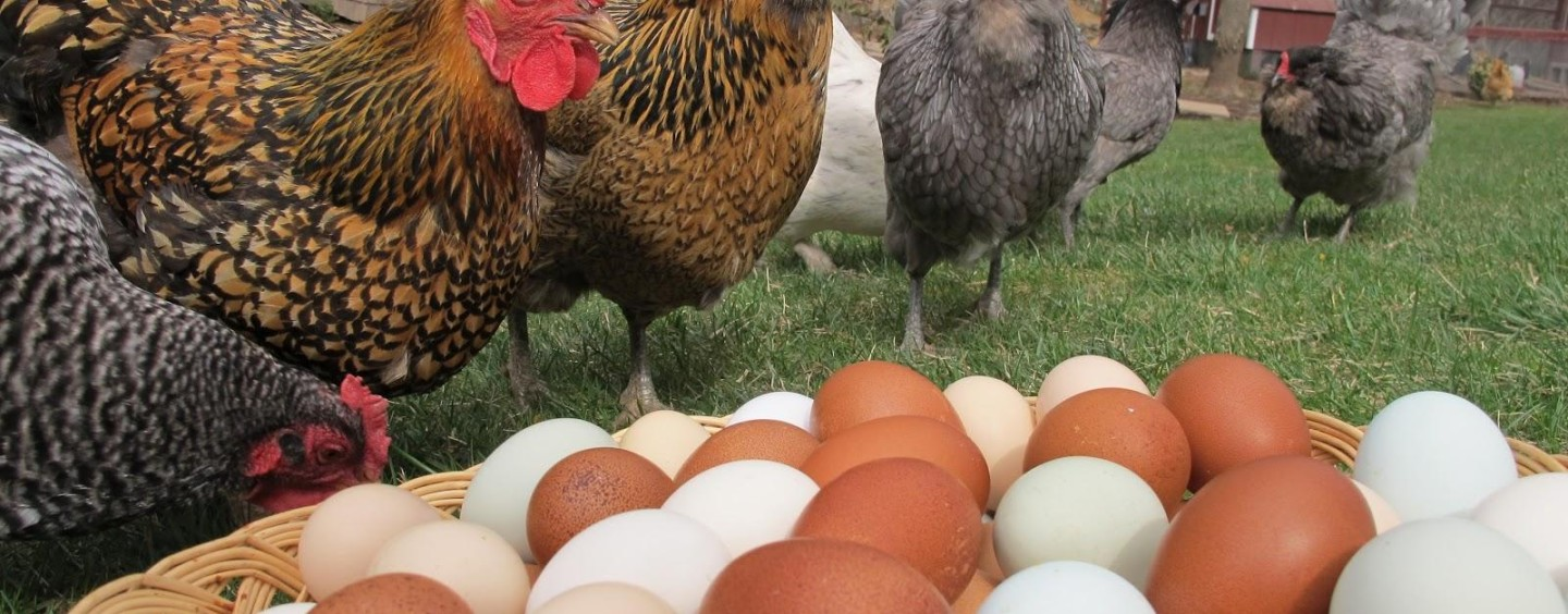 Chooks ignored in argument over free range egg labelling